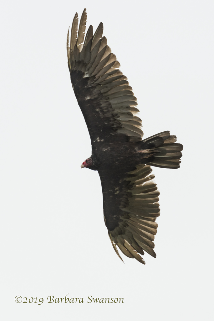 Turkey vulture above the Elfin Forest