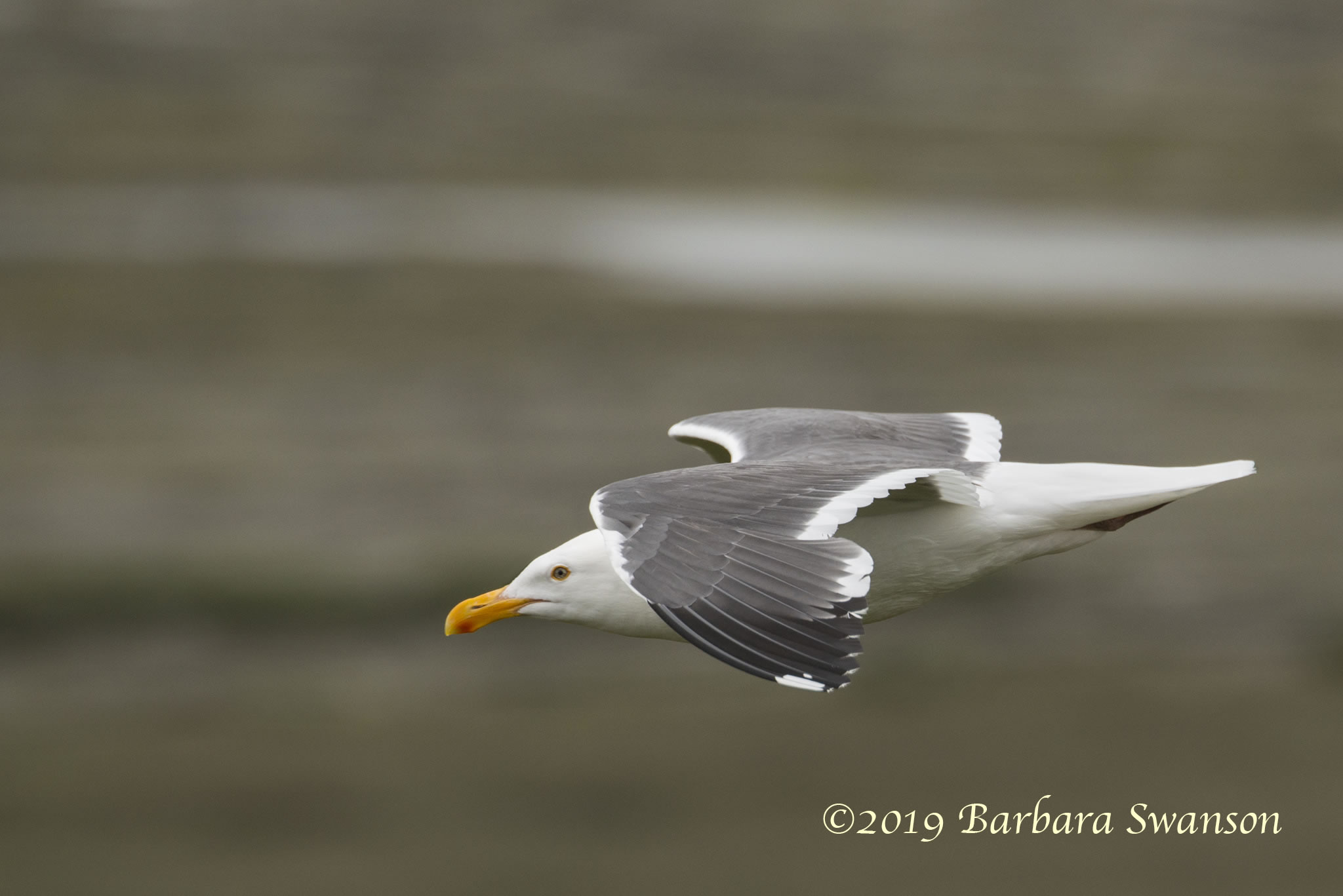 A western gull, Morro Bay estuary west of the Elfin Forest