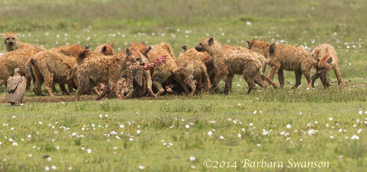 Hyena carrying off zebra leg