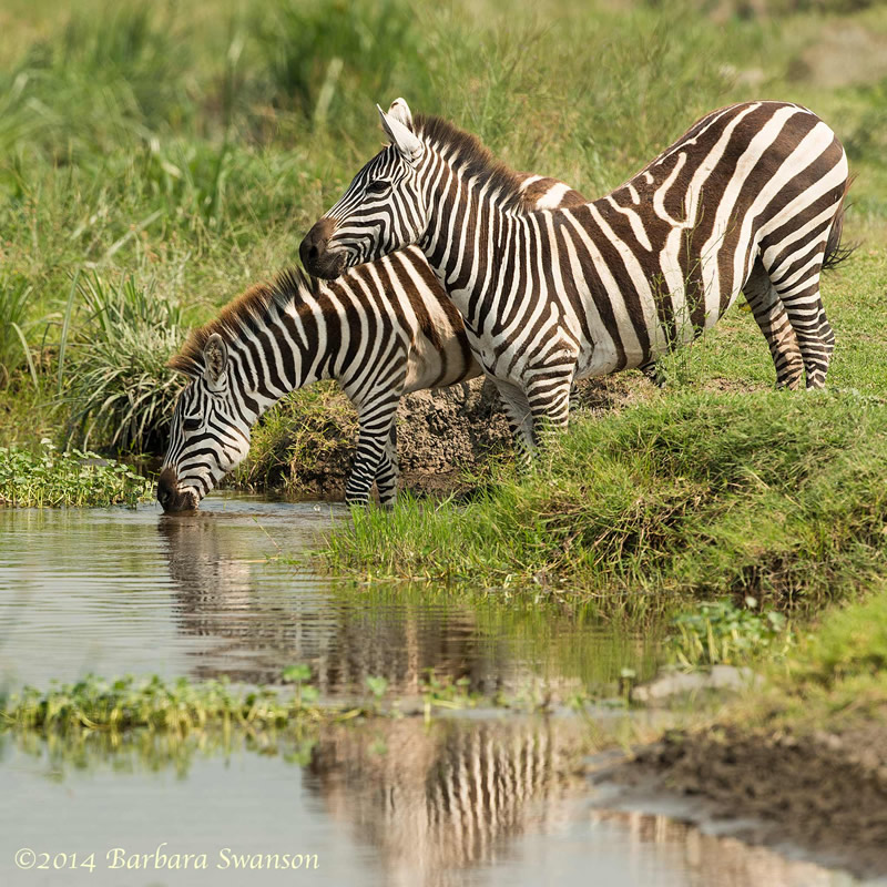 Two Plains zebras drinking