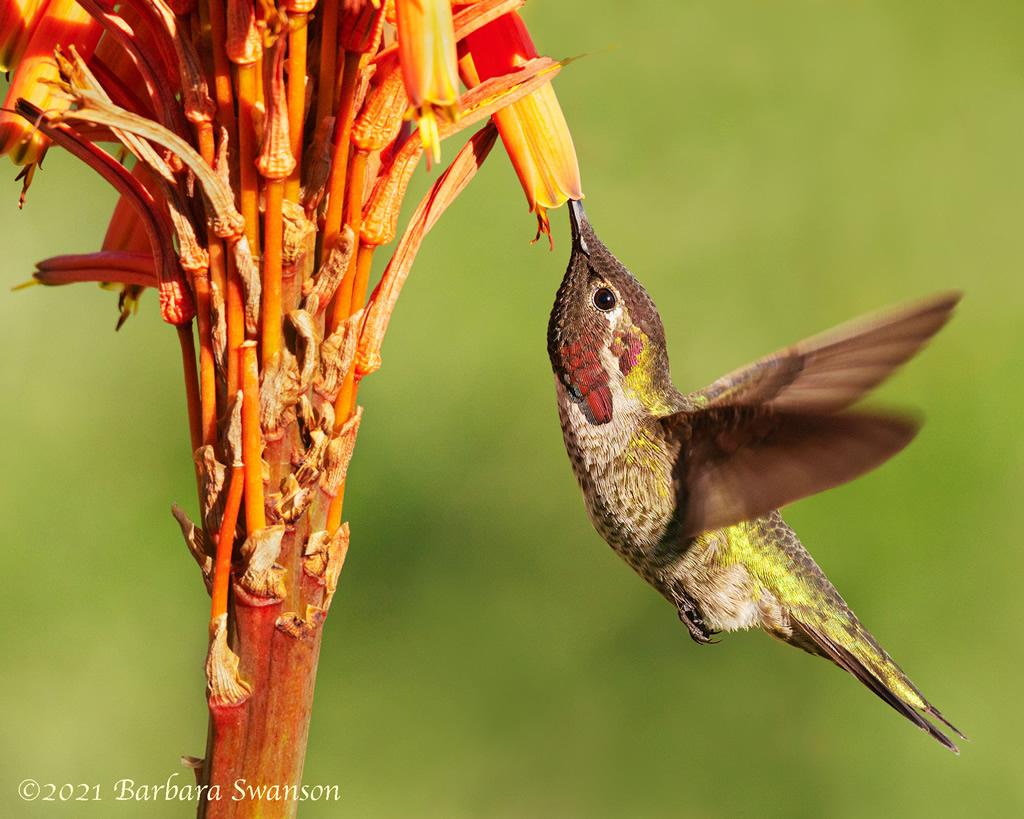 Anna's Hummingbird at succulent flower, January 21, 2021