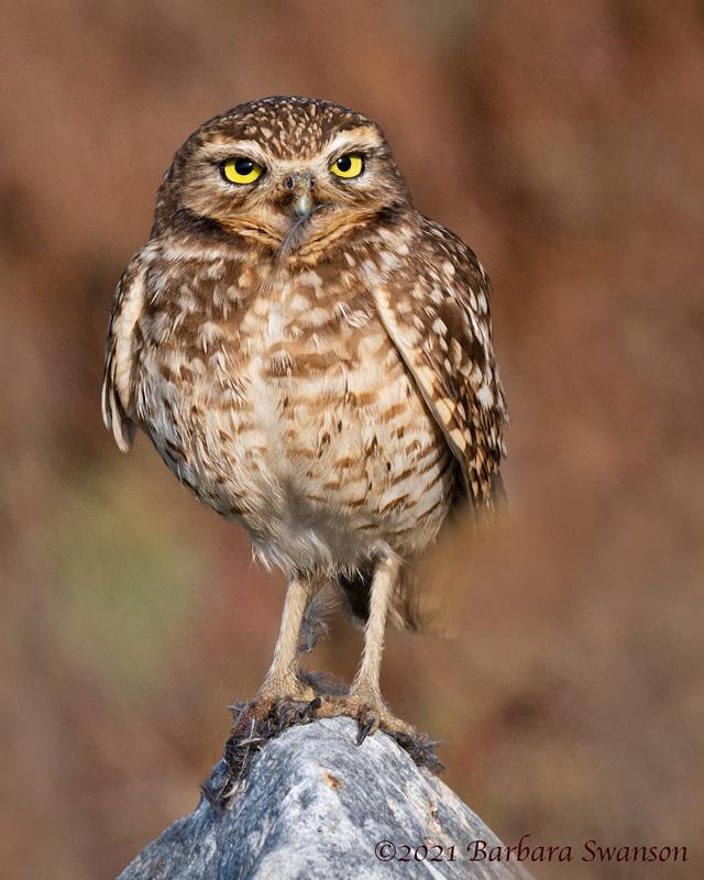 Burrowing Owl, January 7, 2021