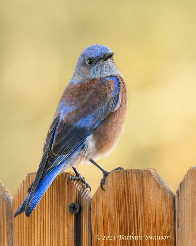 Western Bluebird, January 2, 2021