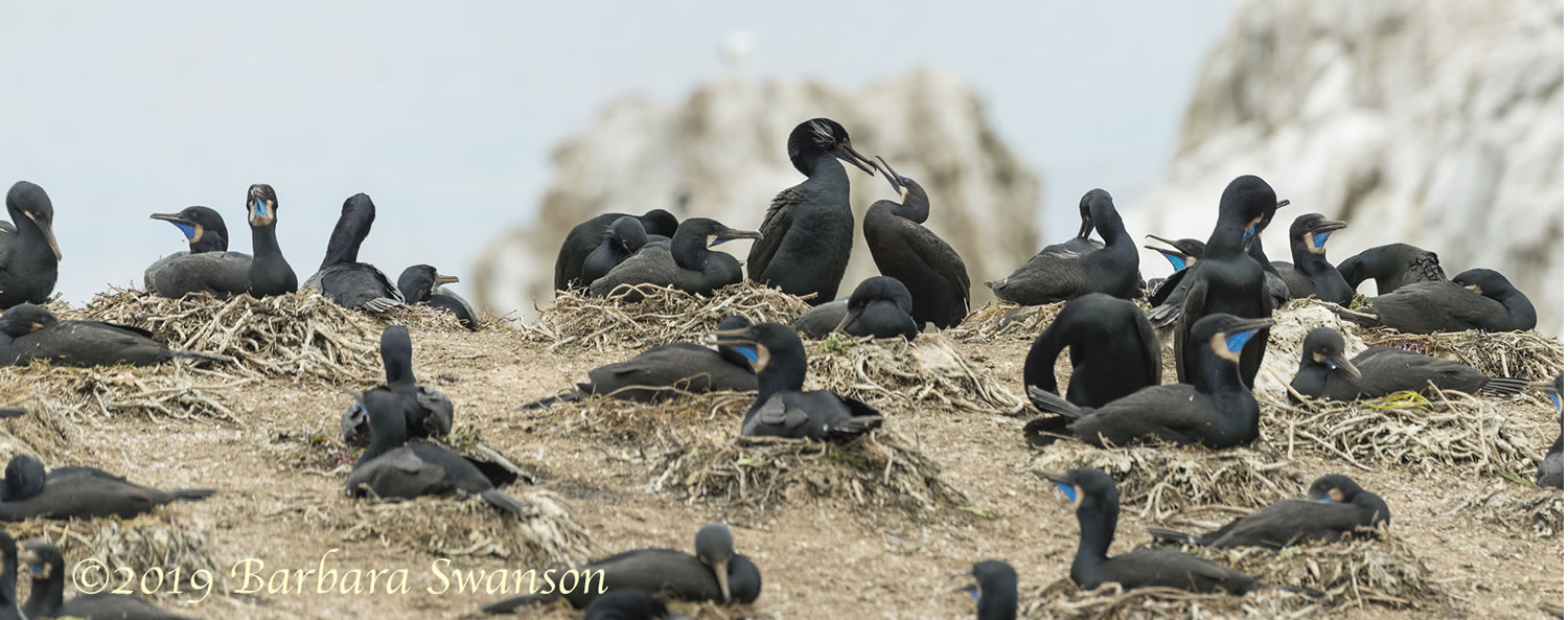 Brandt's Cormorants nesting colony