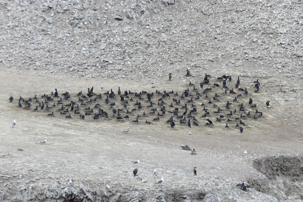 Brandt's Cormorants nesting, Bird Island