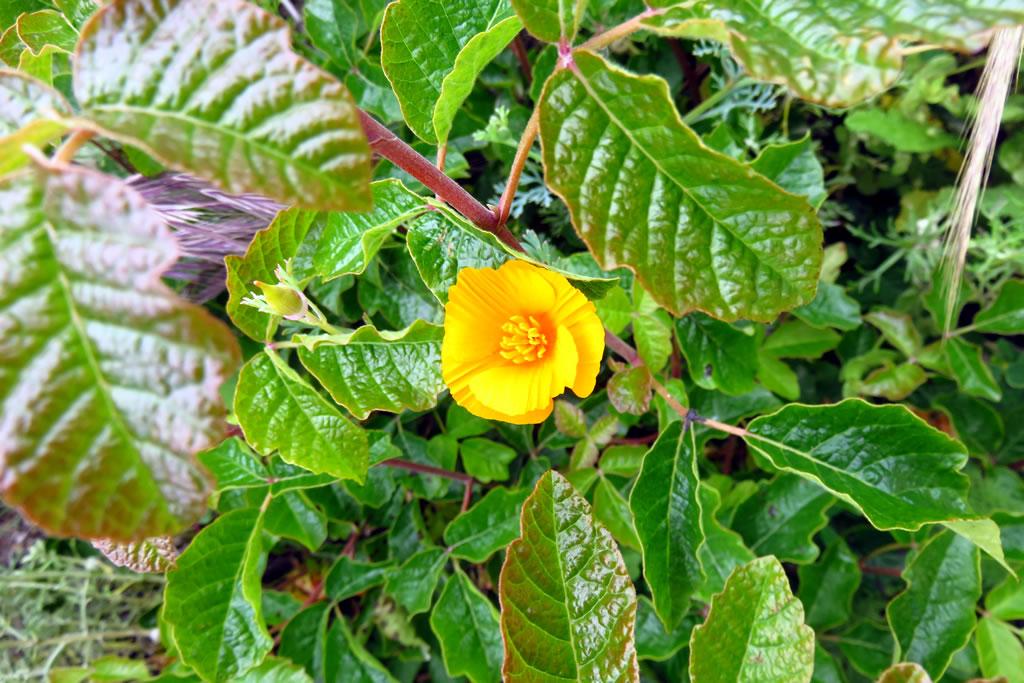 A poppy peeks proudly from poison oak