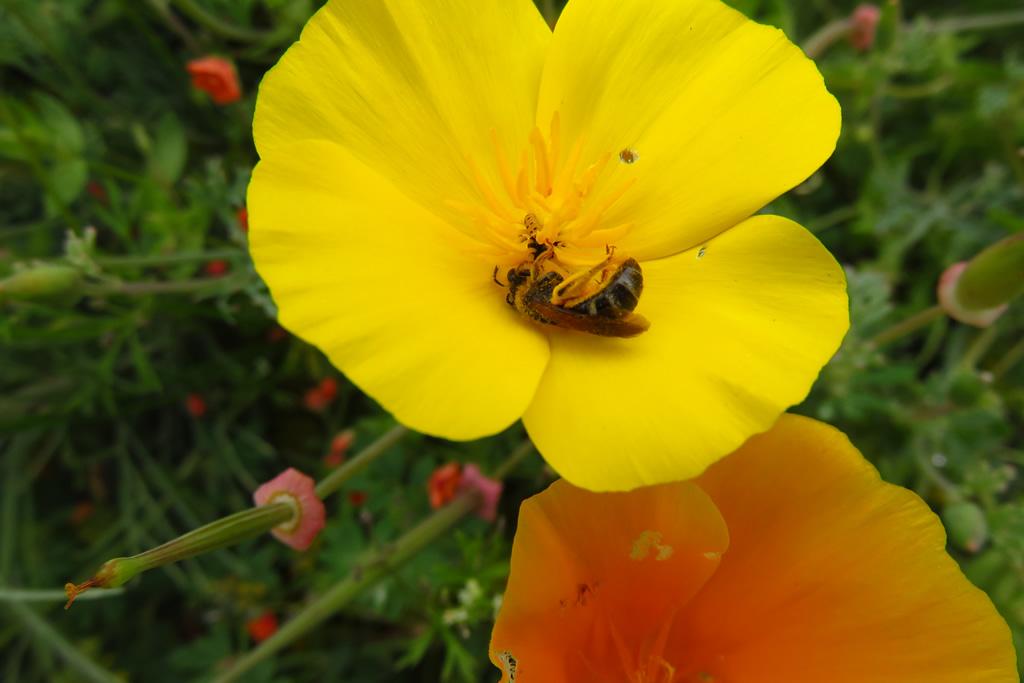A native bee in a poppy near China Cove