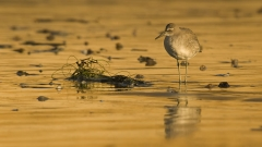 Shore bird ponders abandoned fishing line