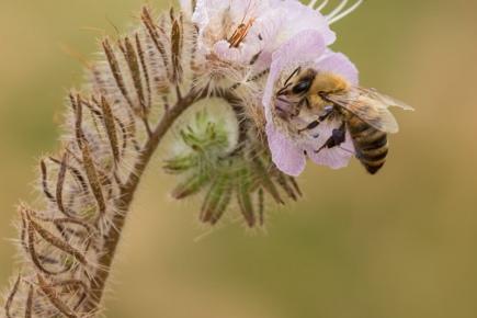 Honeybee hovering