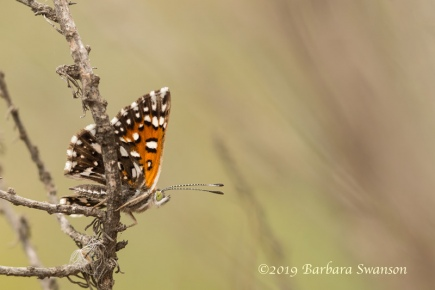 Checkerspot butterfly