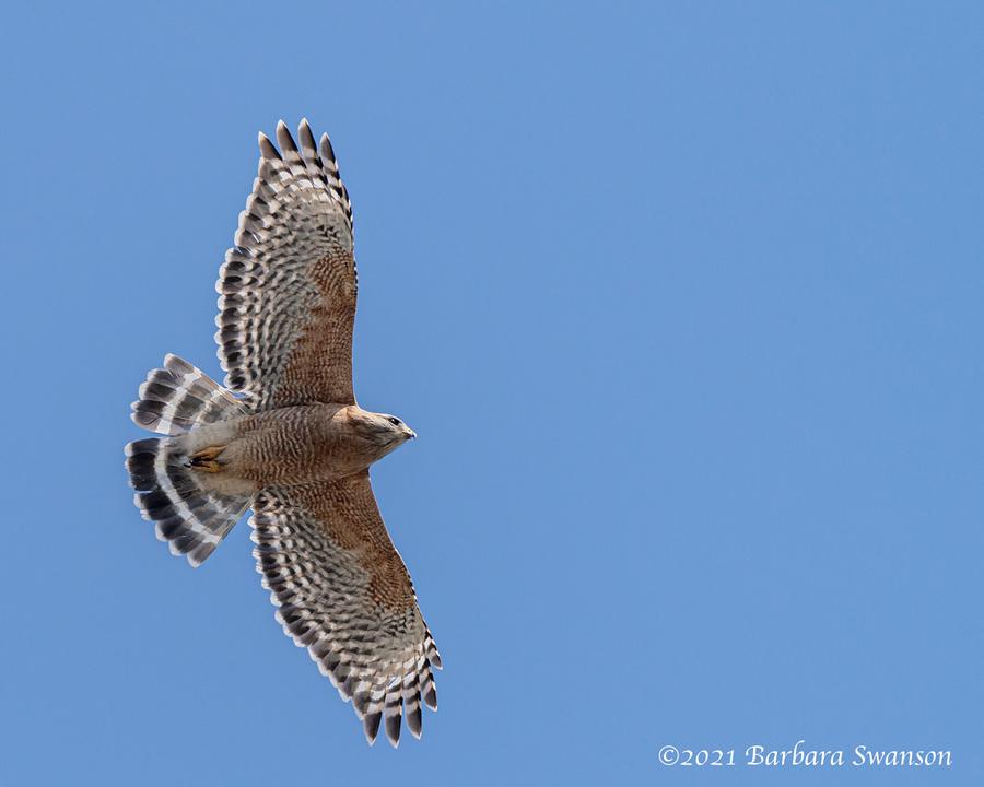 Red-shouldered Hawk, April 3, 2021
