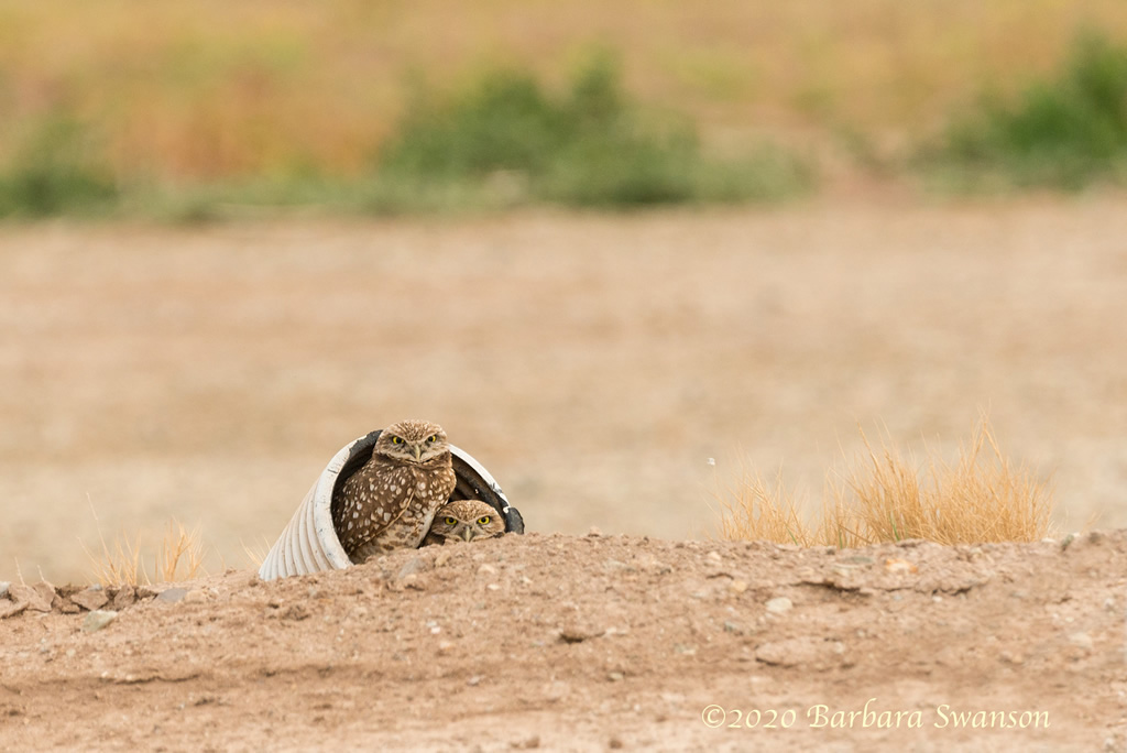 Burrowing owls in their custom home