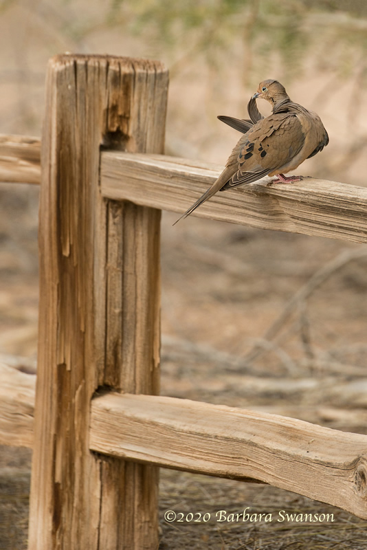 A mourning dove preening on a fence.