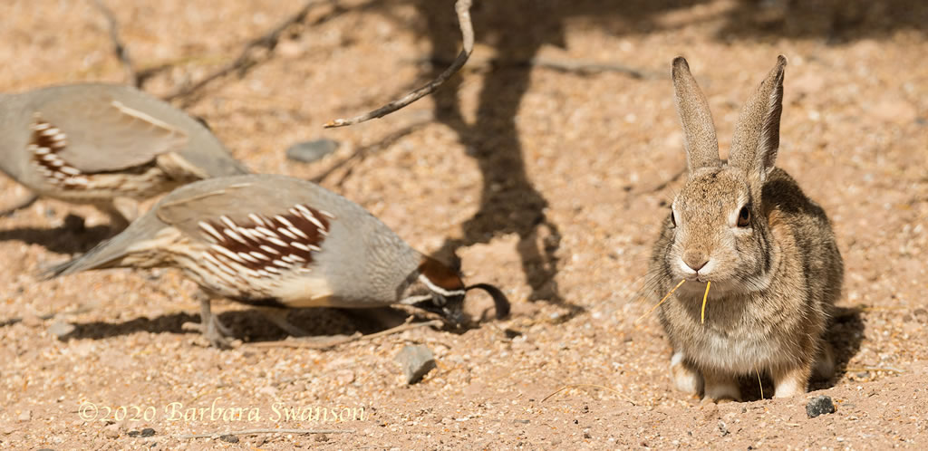 A nonchalant rabbit with  quail friends