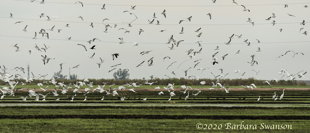 Ring-billed gulls and cattle egrets, sans the cattle