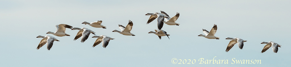 Snow Geese in flight against the sky
