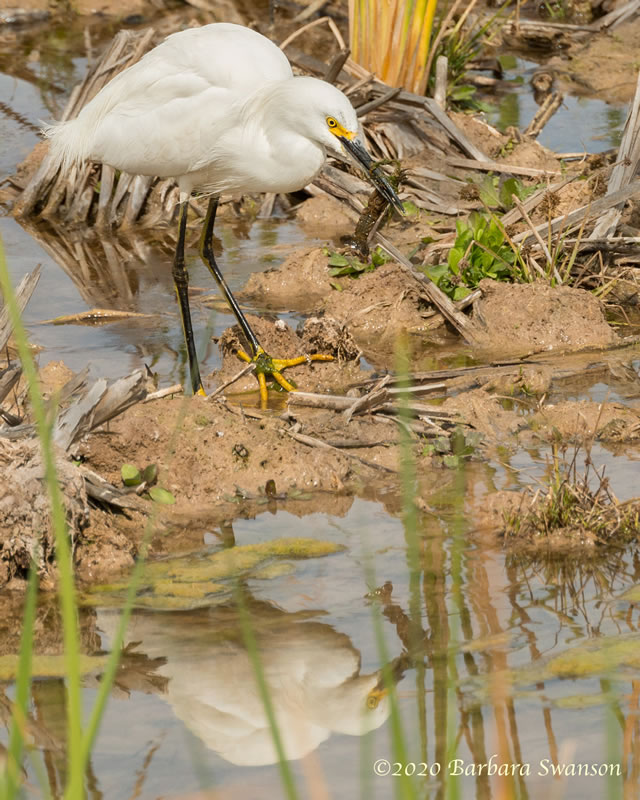 A snowy egret with its unfortunate crawfish