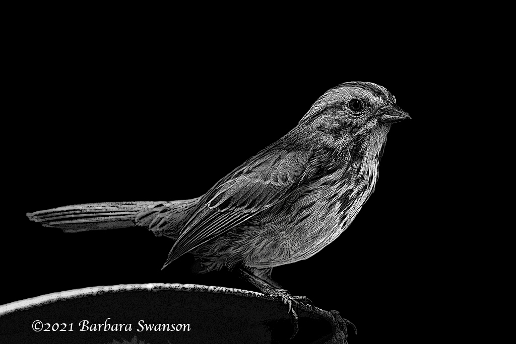 Song Sparrow, March 20-30, 2021
