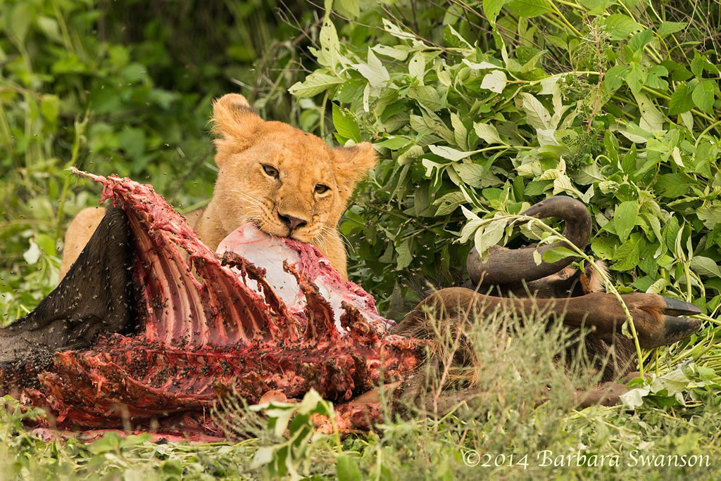 African lion eating a wildebeest