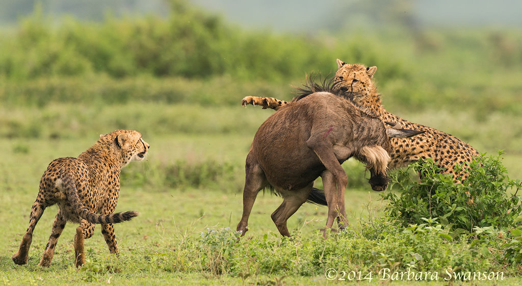 Cheetah brothers with wildebeest