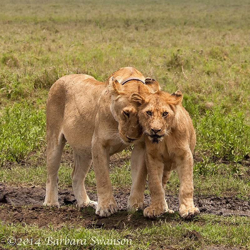 Lioness and cub posing for the president