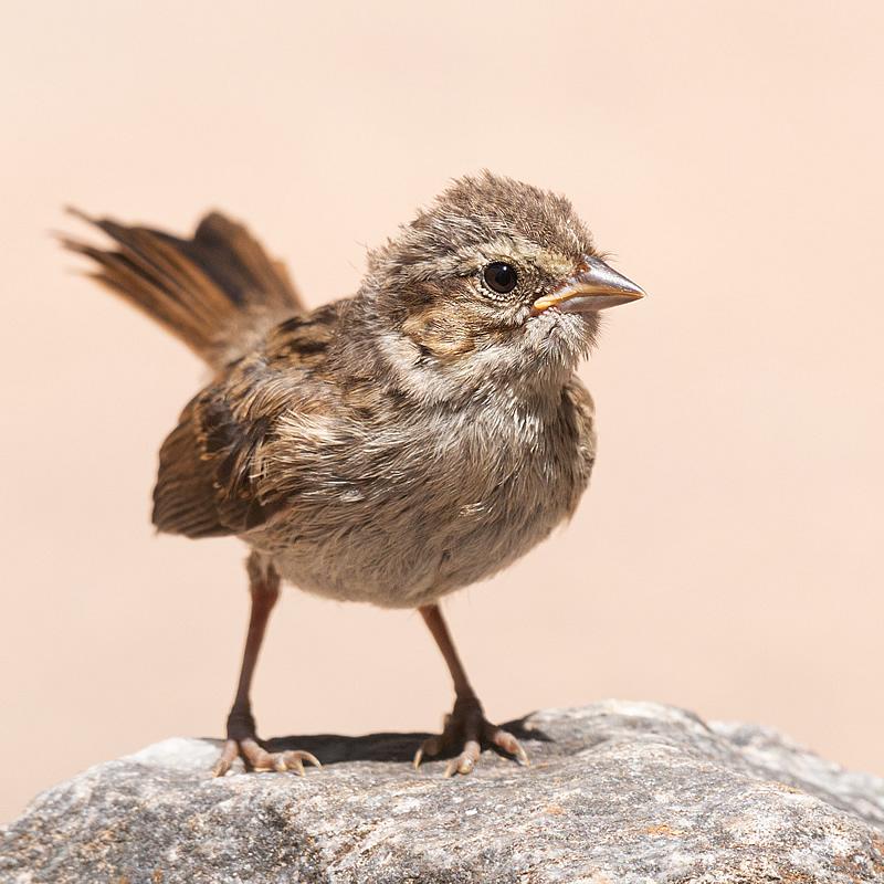 Song Sparrow Fledgling, April 16, 2021