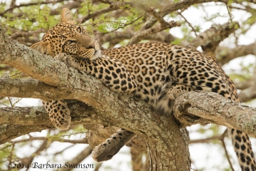 Immature leopard
