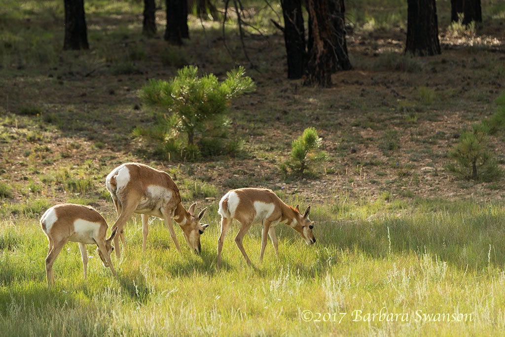 <b>A trio of male pronghorn</b>