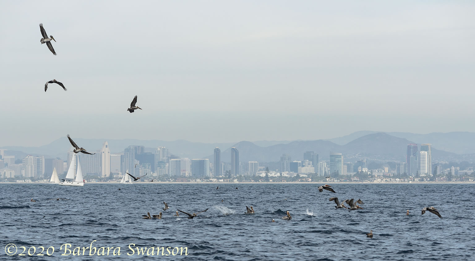 Pelicans with San Diego in the background