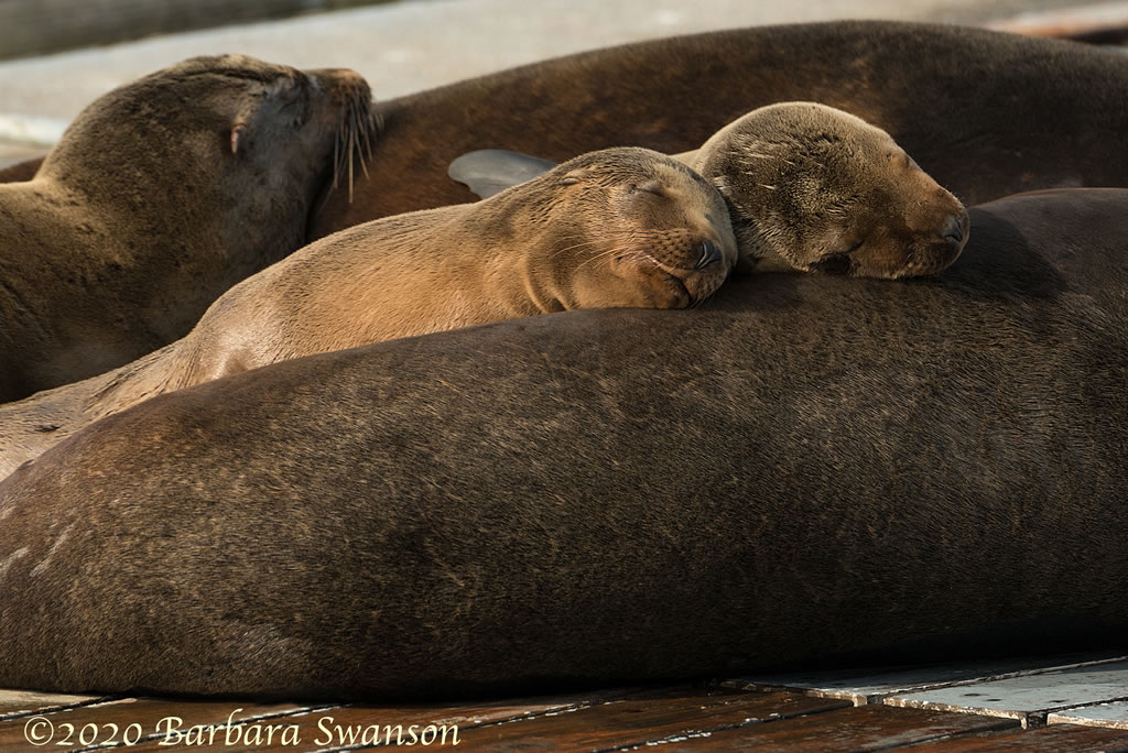 Sea Lion teens catch a snooze.
