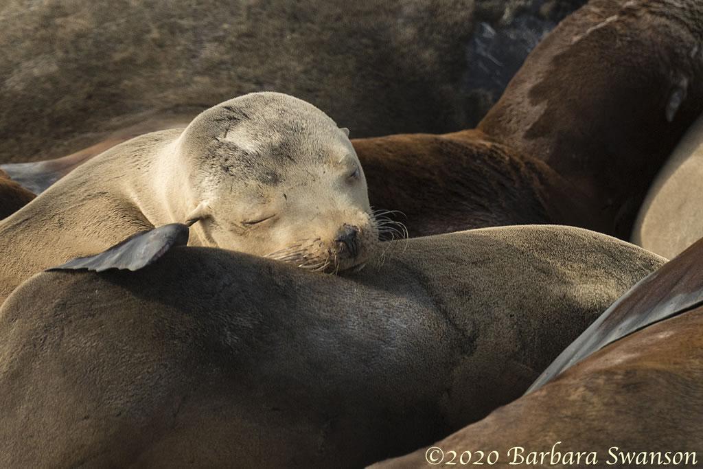 A sea lion pup looks comfy.