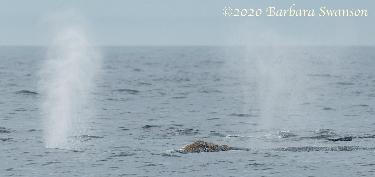 Gray whale spouts